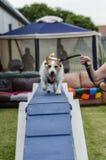 Funzionamento del cane sul corso di agilità Immagine Stock Libera da Diritti