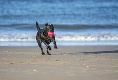 Funzionamento del cane sulla palla di trasporto della spiaggia Fotografia Stock Libera da Diritti