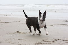 Funzionamento del cane sulla spiaggia Immagine Stock