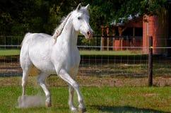 Funzionamento del cavallo bianco Fotografia Stock Libera da Diritti