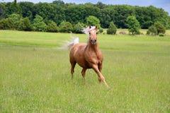 Funzionamento del cavallo del palomino fotografia stock libera da diritti