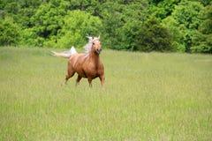 Funzionamento del cavallo del palomino fotografie stock libere da diritti