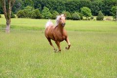 Funzionamento del cavallo del palomino immagini stock libere da diritti