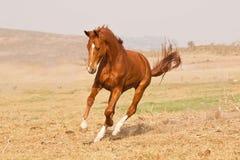 Funzionamento del cavallo della castagna Fotografie Stock Libere da Diritti