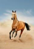 Funzionamento del cavallo di Akhal-teke nel deserto fotografie stock