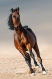 Funzionamento del cavallo di baia fotografia stock