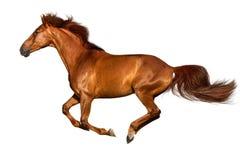Funzionamento del cavallo isolato fotografia stock
