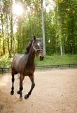 Funzionamento del cavallo in sole di pomeriggio esaminando macchina fotografica Fotografie Stock Libere da Diritti