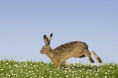 Funzionamento del coniglietto di pasqua Fotografia Stock