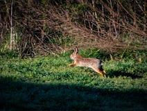 Funzionamento del coniglio Fotografia Stock