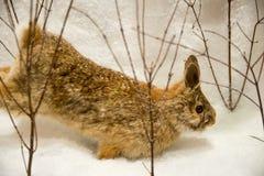 Funzionamento del coniglio, inverno della neve, fauna selvatica Fotografie Stock