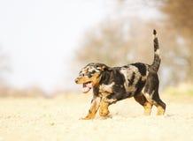 Funzionamento del cucciolo del beauceron di divertimento Fotografia Stock Libera da Diritti
