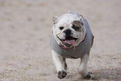 Funzionamento del cucciolo del bulldog Fotografia Stock
