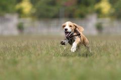 Funzionamento del cucciolo del cane da lepre sull'erba Fotografia Stock
