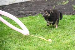 Funzionamento del cucciolo del pastore tedesco attraverso il prato inglese fotografie stock