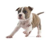 Funzionamento del cucciolo del Terrier di Staffordshire americano Fotografie Stock