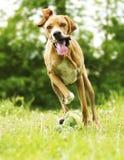 Funzionamento del cucciolo di cane del puntatore di divertimento Fotografie Stock Libere da Diritti