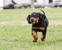 Funzionamento del cucciolo di Gordon Setter Immagine Stock Libera da Diritti