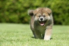 Funzionamento del cucciolo di inu di Shiba Fotografia Stock Libera da Diritti