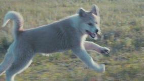 Funzionamento del cucciolo sull'erba archivi video