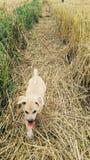 Funzionamento del cucciolo sulla paglia di riso immagine stock