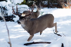 Funzionamento del dollaro dei cervi muli nella neve Immagine Stock Libera da Diritti