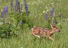 Funzionamento del fawn della coda bianca in un campo dei wildflowers Fotografia Stock Libera da Diritti