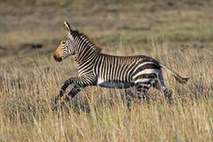 Funzionamento del Foal della zebra di montagna del capo Fotografia Stock Libera da Diritti