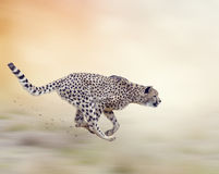 Funzionamento del ghepardo (jubatus di acinonyx) Fotografia Stock
