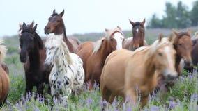 Funzionamento del gregge dei cavalli nel campo stock footage