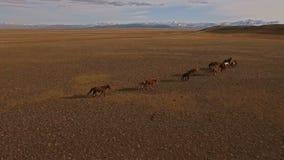 Funzionamento del gregge dei cavalli selvaggii sul prato video d archivio