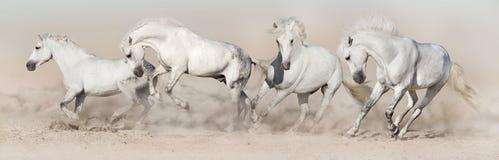 Funzionamento del gregge del cavallo bianco fotografia stock libera da diritti