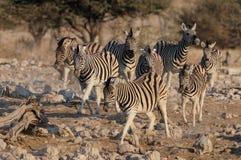 Funzionamento del gruppo della zebra del ` s di Burchell, nationalpark di etosha, Namibia Immagine Stock