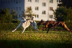 Funzionamento del husky e del ridgeback dei cani Immagini Stock