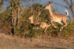 Funzionamento del Impala Fotografia Stock Libera da Diritti