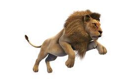 Funzionamento del leone, animale selvatico su fondo bianco Fotografie Stock