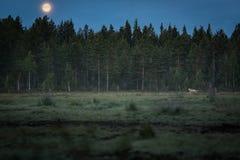 Funzionamento del lupo in luna piena Immagine Stock