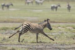 Funzionamento del puledro della zebra comune dei giovani, Tanzania Fotografie Stock Libere da Diritti