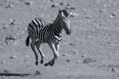 Funzionamento del puledro della zebra a partire dal pericolo per la mamma Fotografia Stock Libera da Diritti