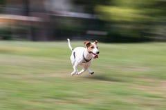 Funzionamento del terrier di Jack russell ad un parco Fotografie Stock Libere da Diritti