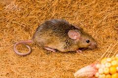 Funzionamento del topo domestico (musculus di Mus) Immagine Stock Libera da Diritti