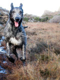Funzionamento del wolfhound irlandese in natura Immagine Stock