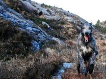 Funzionamento del wolfhound irlandese in natura Fotografia Stock