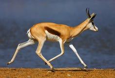 Funzionamento dell'antilope saltante fotografia stock libera da diritti