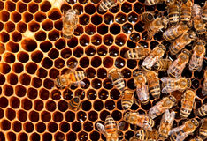 Funzionamento dell'ape degli insetti Fotografia Stock Libera da Diritti