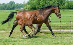 funzionamento della cavalla del foal Fotografie Stock Libere da Diritti