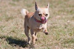 Funzionamento della chihuahua fotografia stock