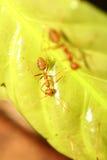 Funzionamento della formica Fotografie Stock