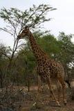 Funzionamento della giraffa nella savanna Fotografia Stock