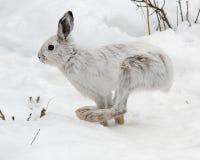 Funzionamento della lepre di racchetta da neve Fotografie Stock Libere da Diritti